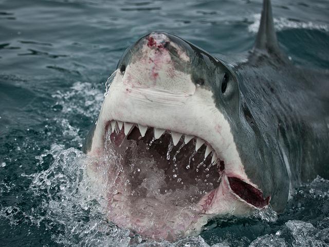 Shark Header